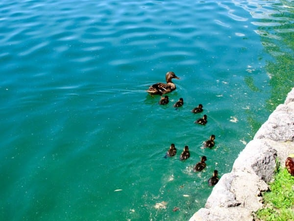 Ducks at Lake Bled Slovenia