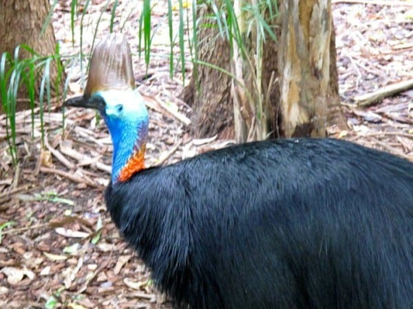 A cassowary I spotted... at the Australia Zoo on my last visit