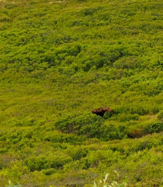 A moose in Denali