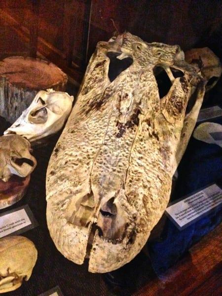 A prehistoric Little St. Simons visitor