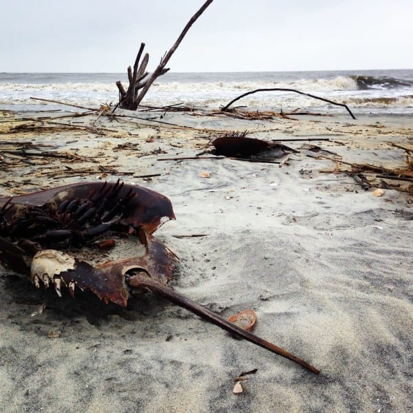 Shipwrecked horseshoe crabs littered the battered beach