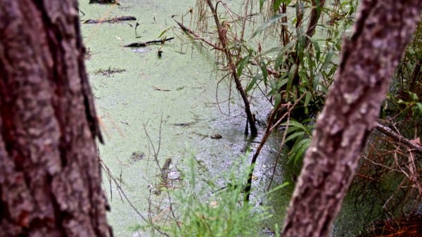 There's a baby gator in this shot - can you spot him?