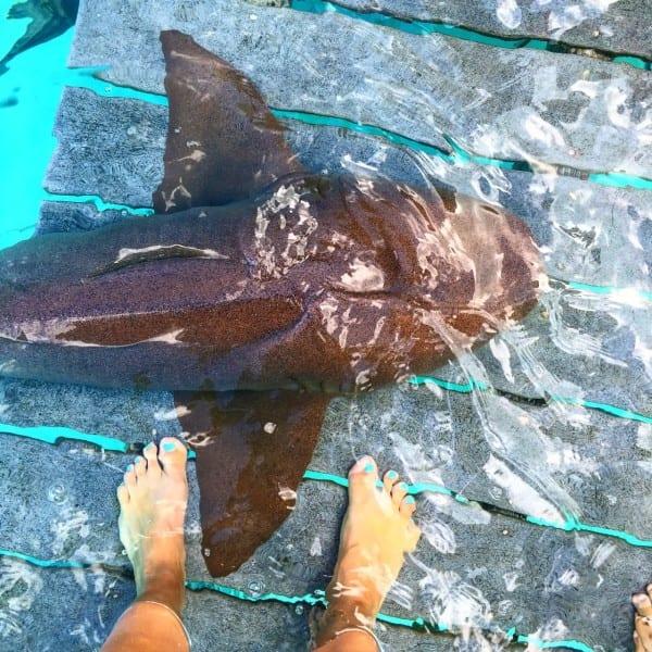 Compass Cay Exuma Shark