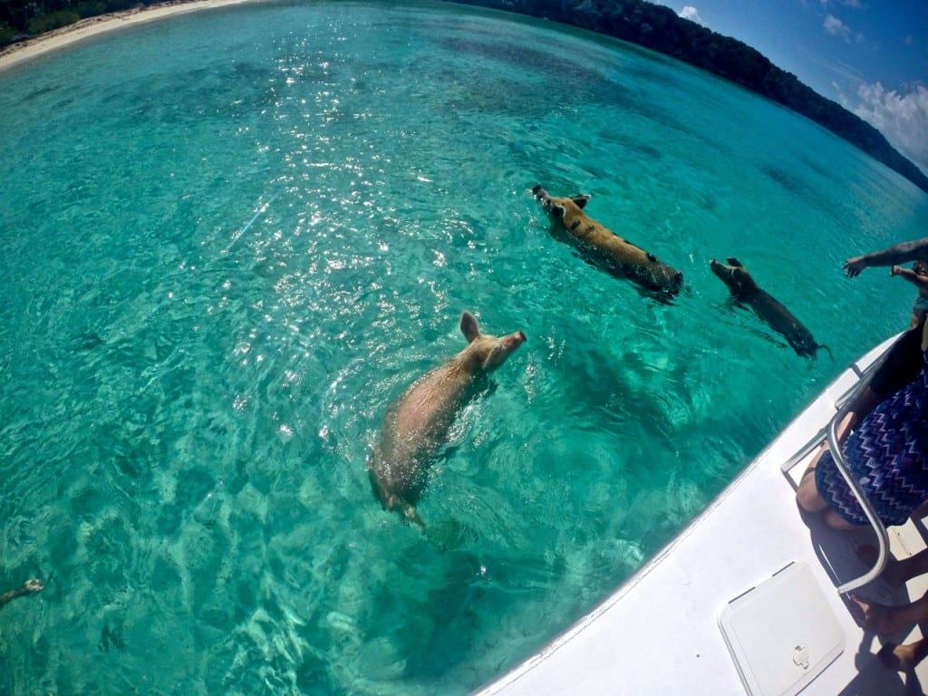 Swimming Pigs Exuma 4C's Adventure Bahamas Tour