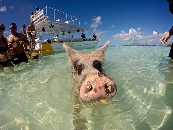 Swimming Pigs Exuma 4C's Adventure Bahamas Tour