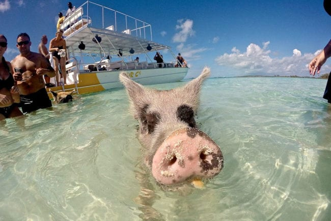 6 Tips for Visiting the Swimming Pigs of Exuma thumbnail