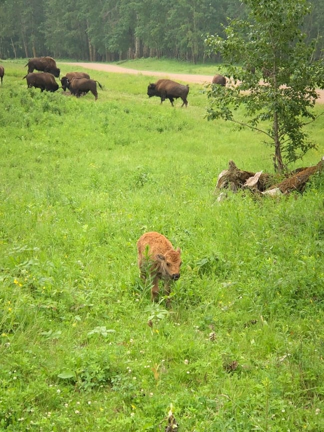 Baby bison at Elk Island National Park